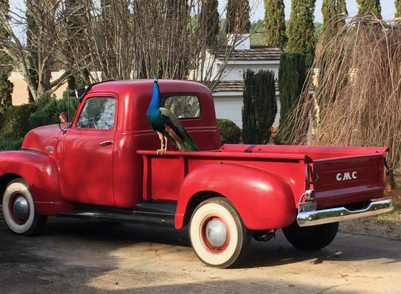 peacock on vintage red car, Serenata Farm in Madison, GA