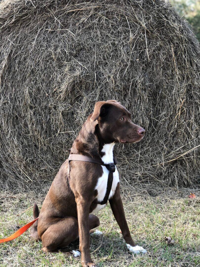 brown white dog at Serenata Farm in Madison, GA
