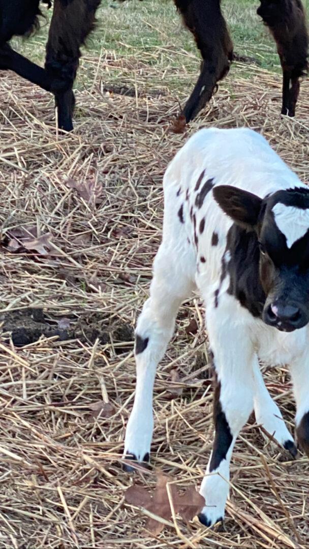 white black goat at Serenata Farm in Madison, GA